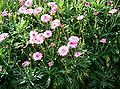 Argyranthemum frutescens2.jpg