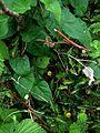 Aristolochia sempervirens - Flickr - peganum (2).jpg