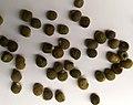Arka anamika okra bhendi ladyfinger seeds.jpg