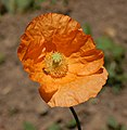 Armenian Poppy Papaver lateritium Flower Side 1958px.jpg