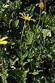 Arnica latifolia 0691.JPG