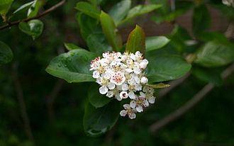 Aronia - Aronia flowers and leaves (Aronia melanocarpa)