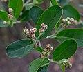 Aronia melanocarpa, Christchurch Botanic Gardens, Canterbury, New Zealand 11.jpg