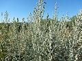 Artemisia absinthium (28560095621).jpg