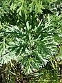 Artemisia absinthium sl8.jpg