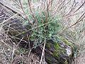 Artemisia campestris sl9.jpg