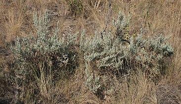 Artemisia tridentata 5.jpg
