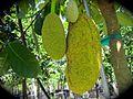 Artocarpus heterophyllus (Jackfruit) (28260465513).jpg