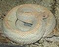 Aruba Island Rattle Snake.jpg