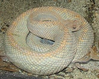 Crotalus durissus unicolor - C. d. unicolor in captivity.