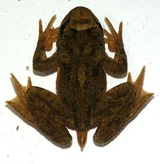Tailed Frog