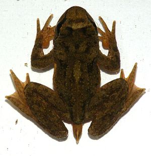 Tailed frog - Image: Ascaphus truei web