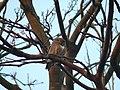 Asian Barred Owlet - Glaucidium cuculoidea - P1030460.jpg