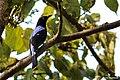 Asian Fairy bluebird (Irena puella) male., ലളിത. (38005391684).jpg