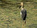 Asian Openbill Stork-.jpg