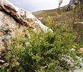Asparagus rubicundus - Greyton - South Africa 5.JPG