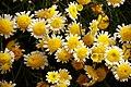 Asteraceae 4101.JPG