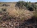 Astragalus gracilis (7273547782).jpg