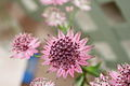 Astrantia Major 'Rubra'.JPG