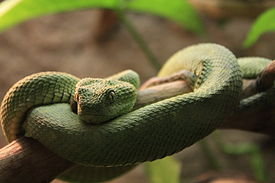 Atheris squamigera at Vivarium, Lausanne, Switzerland.jpg