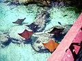 Atlantis hotel stingrays in lagoon.JPG
