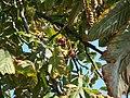 Atlas roslin pl Kasztanowiec pospolity 2954 6232.jpg