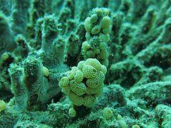 240px atriolum robustum maldives