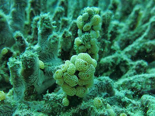 500px atriolum robustum maldives