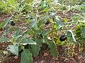 Aubergine-cyprus hg.jpg
