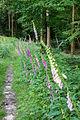 Augustdorf - 2014-06-13 - LIP-066 - Digitalis purpurea (04).jpg