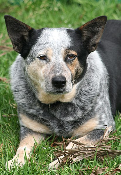 Image of Australian Cattle Dog