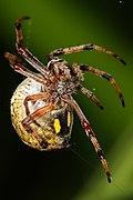 Australian orb weaver spinning web.jpg
