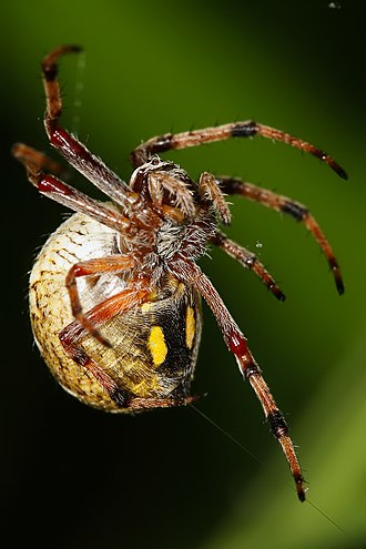 An orb weaver producing silk from its spinnerets Australian orb weaver spinning web.jpg