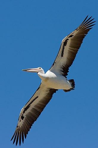 Australian pelican - An Australian pelican in flight