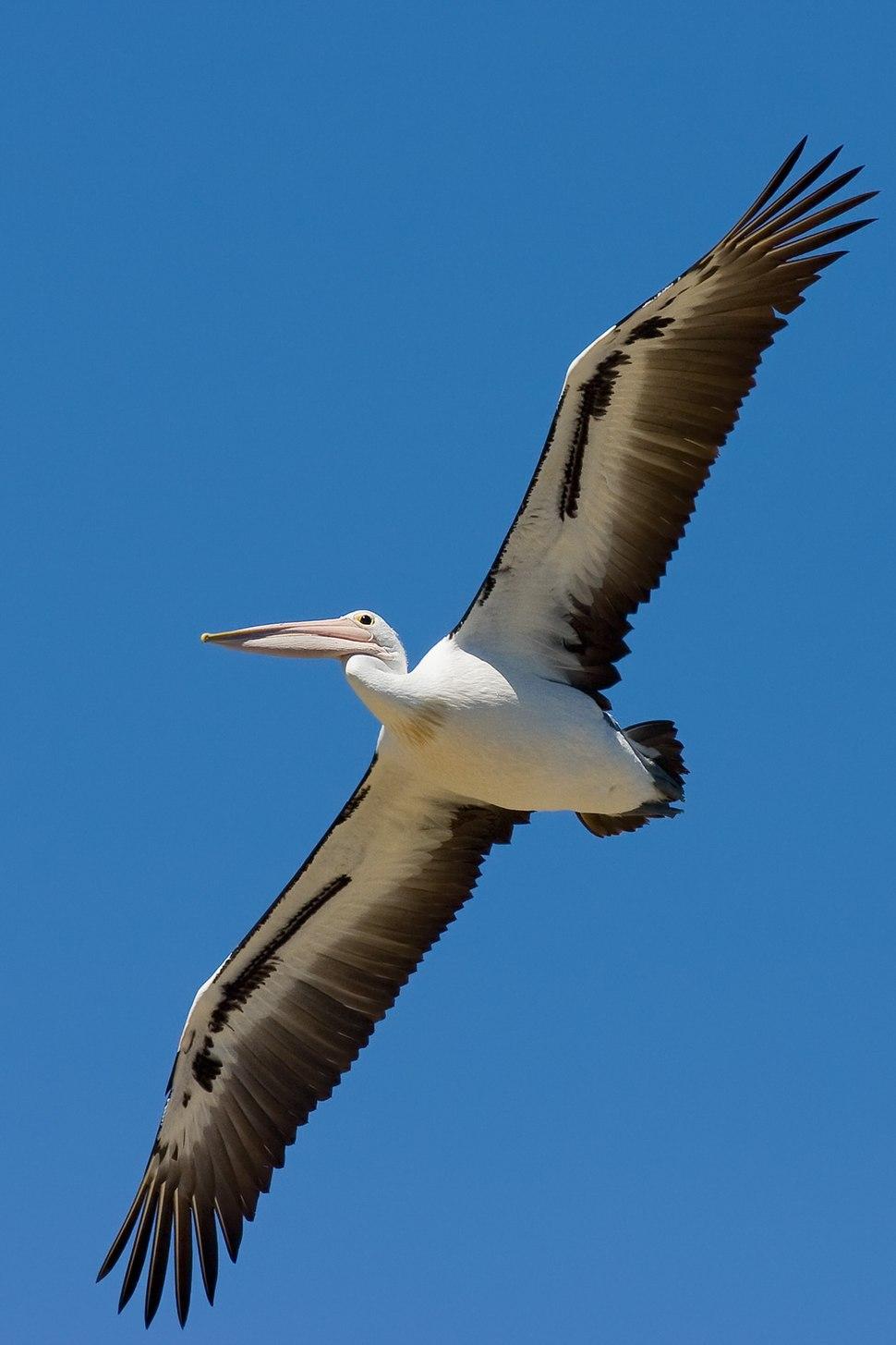 Australian pelican in flight