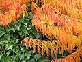 Autumn Leaves and Ivy.jpg