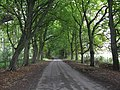 Avenue Of Trees En Route To Leysters - geograph.org.uk - 1460871.jpg