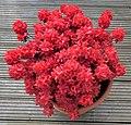 Azalea japonica.jpg
