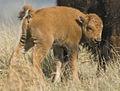 Baby Bison (4818819739).jpg