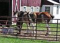 Baby draft horses.jpg