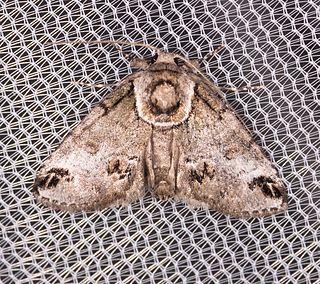 <i>Baileya australis</i> Species of moth