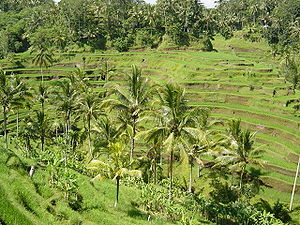 Rice Terraces on the Indonesian island of Bali.