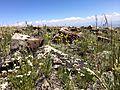 Ballhead sandwort (14605635094).jpg