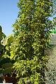 Bambusa ventricosa 2zz.jpg