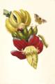 Banana Maria Sibylla Merian 1705 plate XII.png