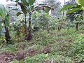 Bananeraie (Cameroun).jpg