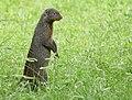 Banded Mongoose (Mungos mungo) (39670936043).jpg