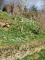 Bank of snowdrops - geograph.org.uk - 1187391.jpg
