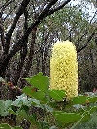 Banksia grandis Torrindup 2.jpg