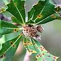 Banksia sessilis involucral bracts.jpg